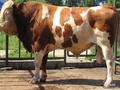 (黑龙江哪里有西门塔尔母牛犊卖?)图片