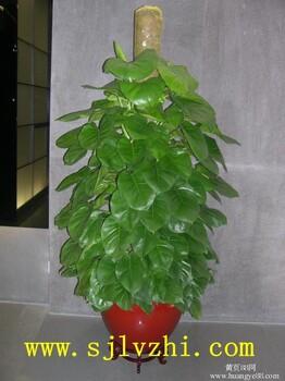 北京朝阳区办公室内绿植租摆北京绿植租赁公司