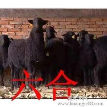 乌骨羊徐集镇养殖场杜泊绵羊小尾寒羊价格
