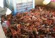 """武汉银丰现代水产养殖开发公司""""农科10号""""龙虾养殖前景一片大好,致富首选"""