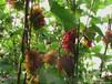 辽宁出售茉莉香葡萄苗,极品香葡萄苗,着色香葡萄苗,郁金香葡萄苗