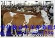 鲁西黄牛价格杂交肉牛价格湖南养殖利木赞牛技术