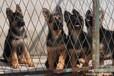 云南哪里有卖纯种德牧的保山卖纯种德牧狗场常年出售德牧幼犬