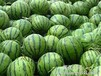大荔縣大棚西瓜銷售價格無籽甜王西瓜最新價格大棚西瓜種植上市價格