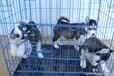 云南哪里有哈士奇卖卖纯种哈士奇幼犬的地方