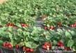 泰安草莓苗