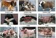 宝鸡肉狗养殖场肉狗养殖技术