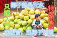 海南椰子三亚水果椰子黄椰子现摘青椰子去皮椰子包邮正宗椰子