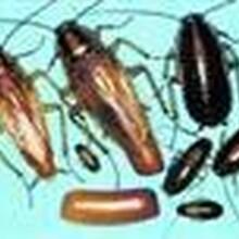 福州专业灭蟑螂福州最好的蟑螂公司福州博益专业灭蟑螂图片