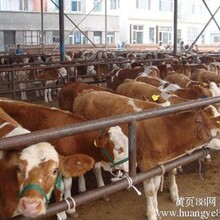 改良牛养殖场哪里有卖牛犊夏洛莱牛价格多少钱一头