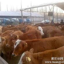 夏洛莱牛湖南养牛场山东养牛场日照养牛场