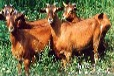 云南丽江养羊多年生黑麦草种子价格