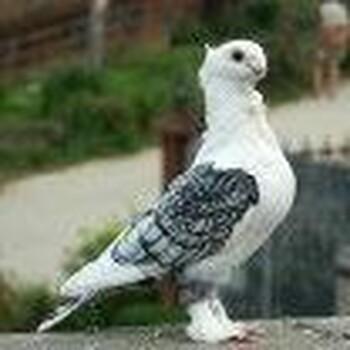 观赏鸽一般多少钱一对