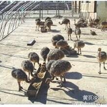 邯郸鸵鸟幼苗一只多少钱/保证成活率!图片