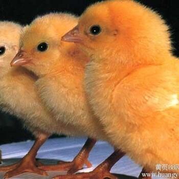 【817鸡苗价格_817肉鸡鸡苗_817鸡苗图片】-黄页88网
