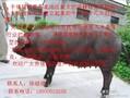 生态黑猪.图片