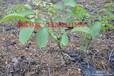榆林核桃,榆林核桃种植