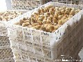 山东红玉鸡苗批发,肉在全红鸡苗,批发,迪卡四系批发,种蛋批发,鸡苗价格图片