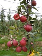 熊岳农业大学北门瑞士红色之爱红肉苹果苗唯一批发商,99%成活率,保品种