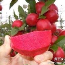 瑞士红色之爱红肉苹果苗唯一批发商,99%成活率,保品种,保质量,信誉第一价格最低