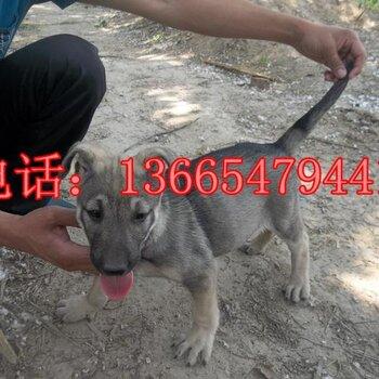 【机具_狼青犬_猎兔犬_比特犬】-山东省a机具犬肉狗图片