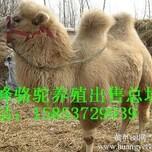 骆驼租赁骆驼出售图片