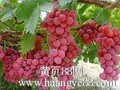 陕西红提葡萄批发基地红提葡萄供应产地图片