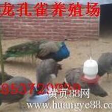 陕西省蓝孔雀养殖场蓝孔雀苗出售蓝孔雀价格图片