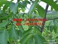 玉林核桃树苗,玉林核桃树苗品种,玉林核桃苗树苗特性图片