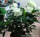 仙桃花卉盆景之栀子花--仙桃常青花卉园艺