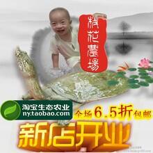 仿野生甲鱼王八活体鳖特价童子鳖梅花农场前陇鳖0.5-0.8斤包邮