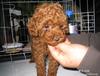 迪庆买泰迪幼犬迪庆卖泰迪幼犬迪庆养殖狗场出售泰迪幼犬