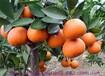 摩洛哥柑橘Citrus上海机场报关进口水果报关费用