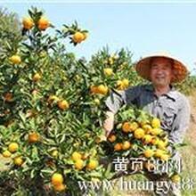 湖北宜昌早熟柑橘