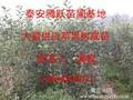 山东红富士苹果苗,山东红富士苹果树苗图片