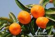 湖北三峡柑橘销售/湖北三峡柑橘批发代理