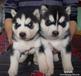 云南哪里买狗、芒市哪里卖纯种哈士奇幼犬、狗场常年出售哈士奇