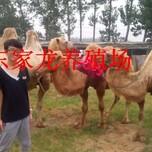 河南骆驼养殖骆驼出售家龙骆驼养殖场图片