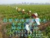 红乳葡萄苗红美人葡萄苗价格