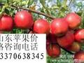 今日山东苹果价格133#7063#8345山东红富士苹果价格山东苹果产地图片