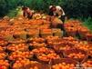 西班牙橙子进口报关代理
