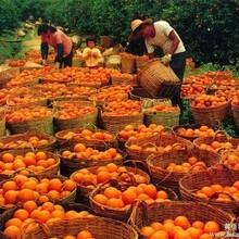 澳洲进口橙子怎么报关清关