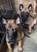 贵州狗市场在那贵州那里有养狗场贵州那里买狗比较好