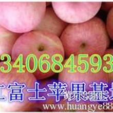 山东红富士苹果纸袋膜袋苹果上市图片