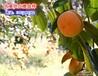 大量大磨盘柿子供应价格合理交通方便