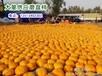 哪里有最大的磨盘柿子河北保定磨盘柿之乡量大质优