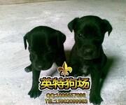 大丹犬,高贵儒雅绅士风范。成功人士首选伴侣犬图片