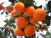 大量出售果农自产柑橘