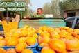 哪里的磨盘柿子最多河北保定磨盘柿之乡量大质优