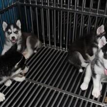 云南卖哈士奇怒江卖哈士奇怒江买哈士奇狗场常年出售纯种哈士奇